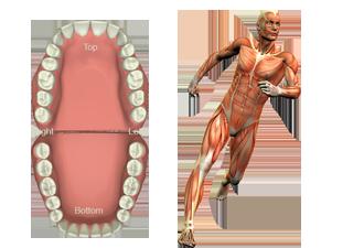 Dentist Wrentham - Dental Meridian Tooth Chart